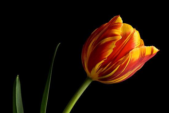 5 buoc trong tulip no dung dot tet ve - 8