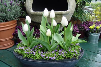 5 buoc trong tulip no dung dot tet ve - 14