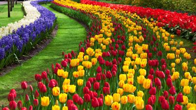 5 buoc trong tulip no dung dot tet ve - 1
