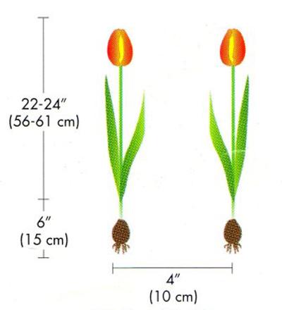 5 buoc trong tulip no dung dot tet ve - 9