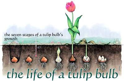 5 buoc trong tulip no dung dot tet ve - 13