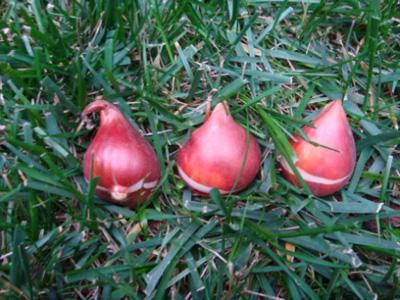 5 buoc trong tulip no dung dot tet ve - 2