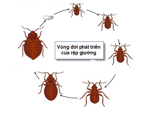 Bí quyết tiêu diệt rệp giường không dùng hóa chất - 3