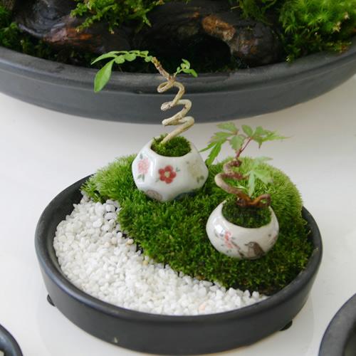 bonsai sieu nho 3cm de thuong cho ban tra - 1
