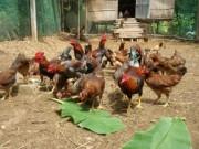 Tin nóng trong ngày - Phát hiện chất tạo màu vàng trong thịt gà có thể gây ung thư