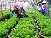 Nhà đẹp - Chùm ảnh: Nông dân hối hả vào vụ trồng hoa cúc Tết