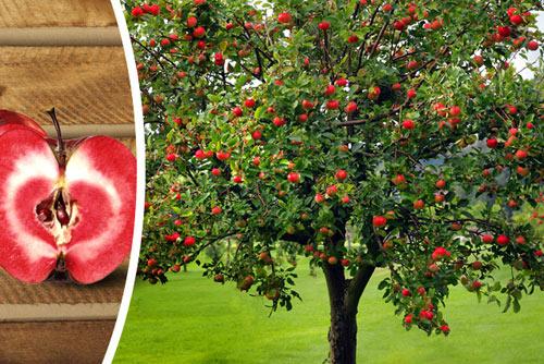 Ngắm táo ruột đỏ giòn ngọt có giá 860.000 một cây-6
