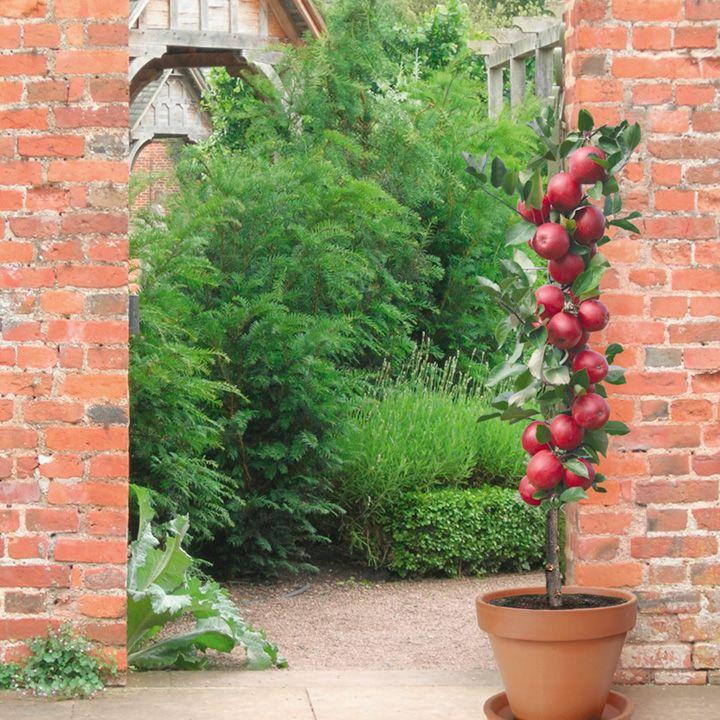 Ngắm táo ruột đỏ giòn ngọt có giá 860.000 một cây-8