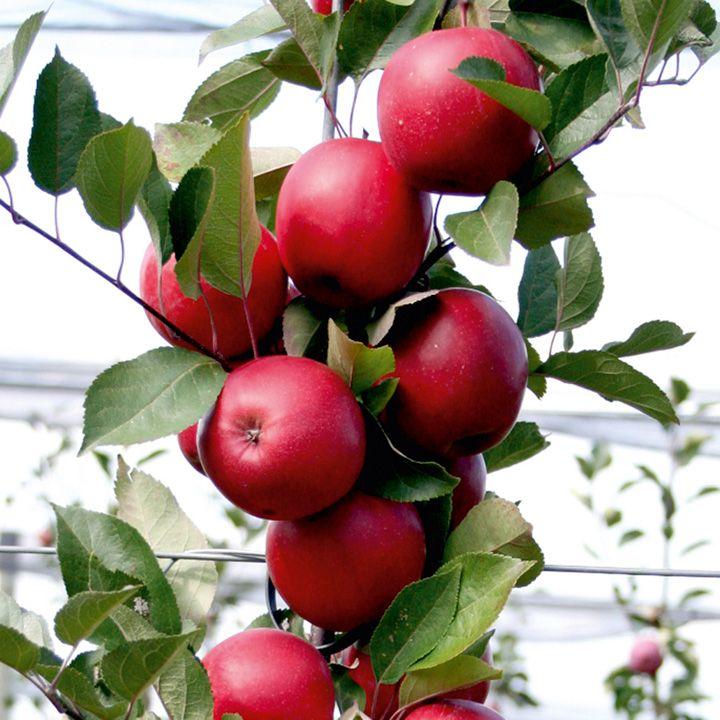 Ngắm táo ruột đỏ giòn ngọt có giá 860.000 một cây-7