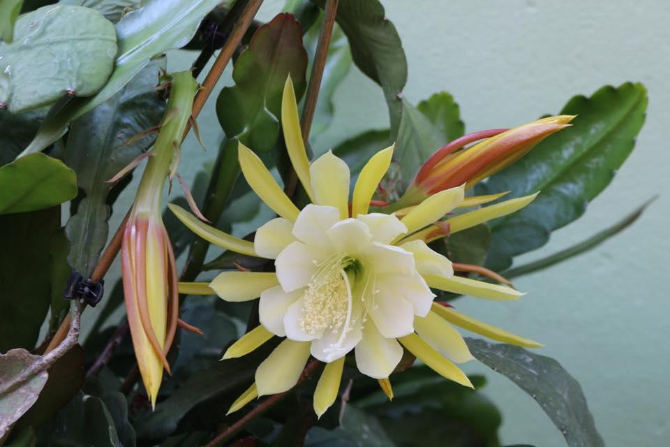 Mẹ Việt ở Đức tiết lộ bí quyết trồng quỳnh trăm hoa-8