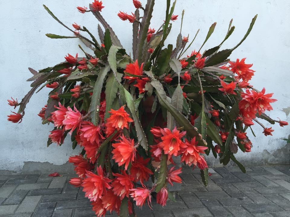 Mẹ Việt ở Đức tiết lộ bí quyết trồng quỳnh trăm hoa-12