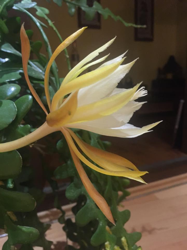 Mẹ Việt ở Đức tiết lộ bí quyết trồng quỳnh trăm hoa-16