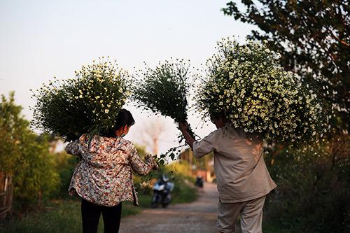 ha noi dep tinh khoi mua hoa cuc hoa mi - 8