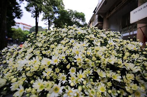 ha noi dep tinh khoi mua hoa cuc hoa mi - 15