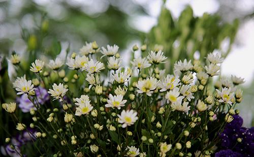 ha noi dep tinh khoi mua hoa cuc hoa mi - 13