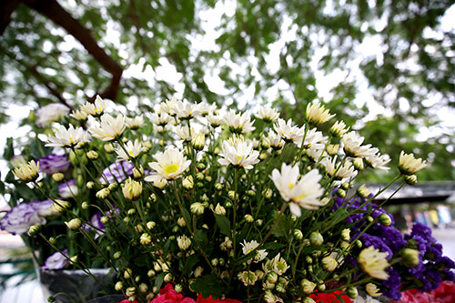 ha noi dep tinh khoi mua hoa cuc hoa mi - 14