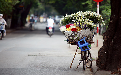 ha noi dep tinh khoi mua hoa cuc hoa mi - 11