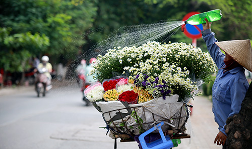ha noi dep tinh khoi mua hoa cuc hoa mi - 10