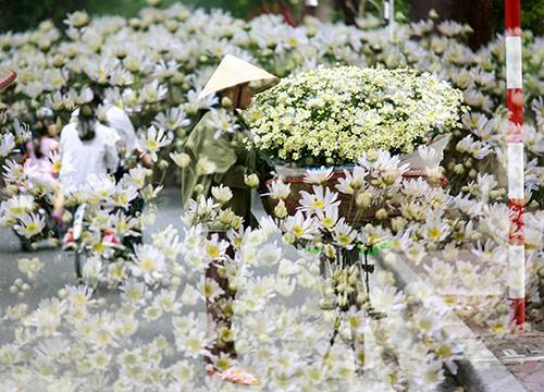 ha noi dep tinh khoi mua hoa cuc hoa mi - 20
