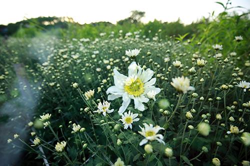 ha noi dep tinh khoi mua hoa cuc hoa mi - 5