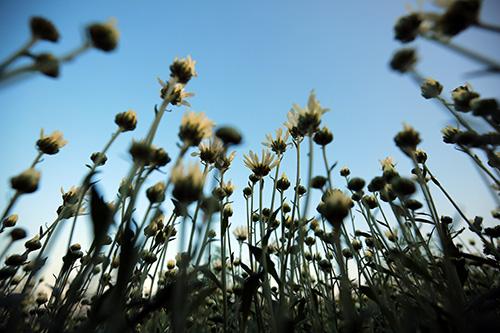 ha noi dep tinh khoi mua hoa cuc hoa mi - 3