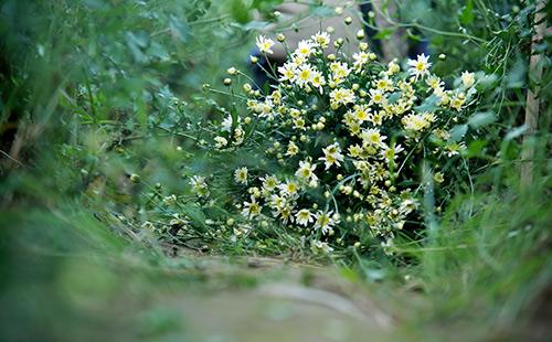 ha noi dep tinh khoi mua hoa cuc hoa mi - 7