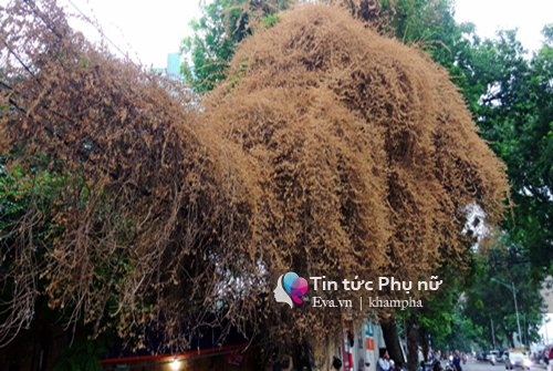 Cây hoa giấy vàng của thu Hà Nội và những dòng tâm sự buồn-3
