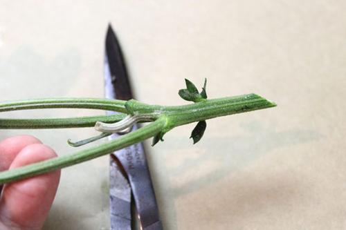 bi quyet nhuom mau cho hoa cuc trang cuc nhanh - 5