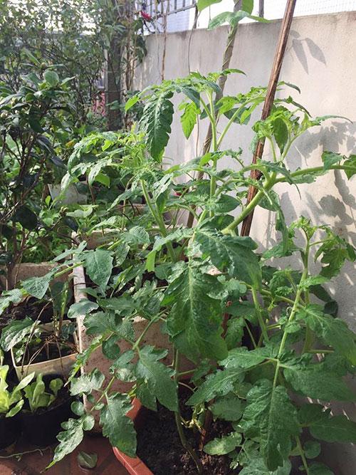 Ông bố 2 con biến sân thượng thành vườn rau, vườn hoa ngợp mắt-13