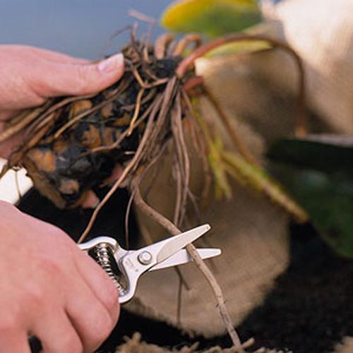 Hoa súng trồng trong chậu, vừa đơn giản vừa đẹp - 3