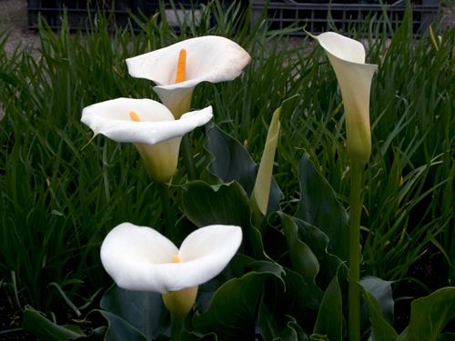 9 loại hoa đẹp nhưng cực độc, tuyệt đối không trồng trong nhà có trẻ nhỏ-6