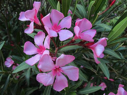 9 loại hoa đẹp nhưng cực độc, tuyệt đối không trồng trong nhà có trẻ nhỏ-5