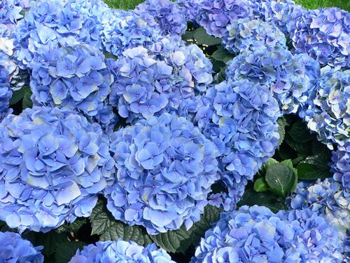 9 loại hoa đẹp nhưng cực độc, tuyệt đối không trồng trong nhà có trẻ nhỏ-7