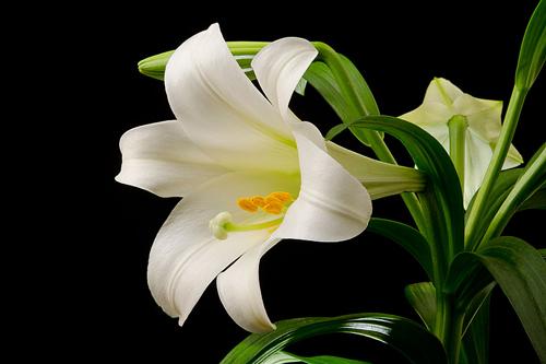 9 loại hoa đẹp nhưng cực độc, tuyệt đối không trồng trong nhà có trẻ nhỏ-9