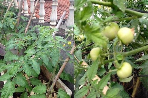 Cô giáo về hưu tiết kiệm tiền triệu mỗi tháng nhờ vườn rau sân thượng-4