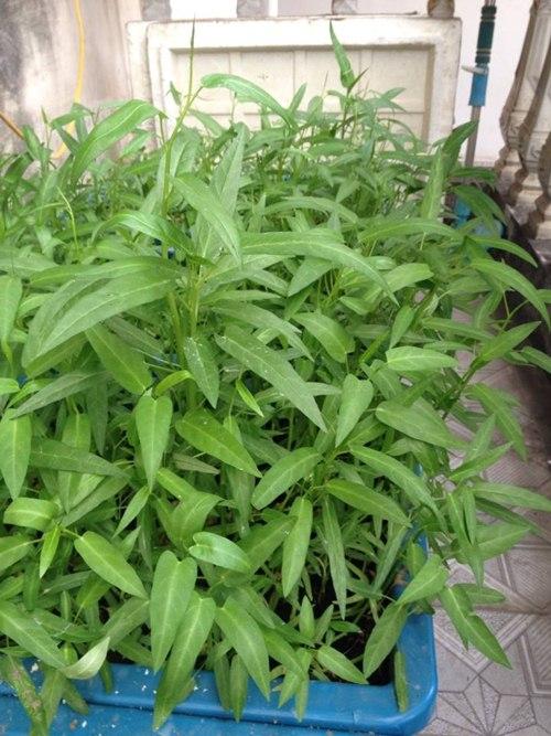 Cô giáo về hưu tiết kiệm tiền triệu mỗi tháng nhờ vườn rau sân thượng-6