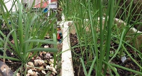 Cô giáo về hưu tiết kiệm tiền triệu mỗi tháng nhờ vườn rau sân thượng-14