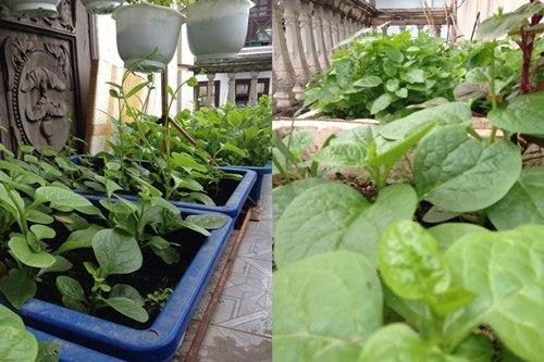 Cô giáo về hưu tiết kiệm tiền triệu mỗi tháng nhờ vườn rau sân thượng-12