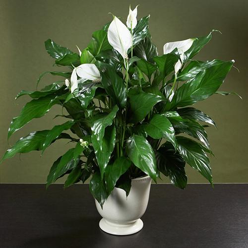 trong 5 loai hoa nay vao thang cuoi nam de hoa giai phong thuy xau trong nha - 2