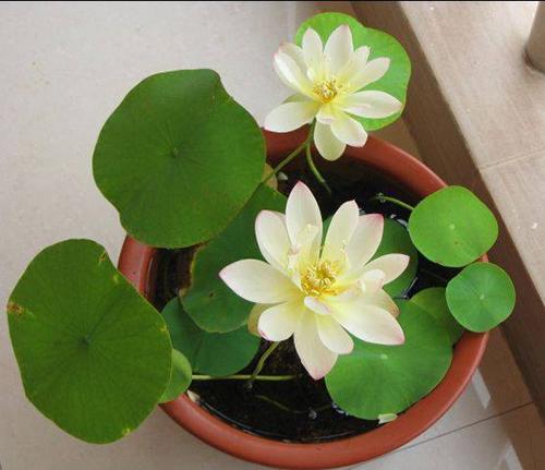 trong 5 loai hoa nay vao thang cuoi nam de hoa giai phong thuy xau trong nha - 5
