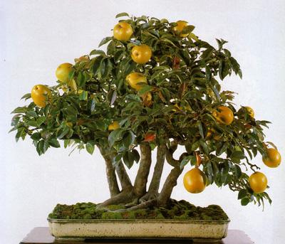 "cay trong chau xua roi, tet nam nay moi nguoi ""choi"" bonsai bay - 1"