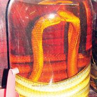 Rượu rắn làm mất khả năng sinh sản