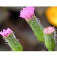Dùng cây rau má lá rau muống chữa bệnh