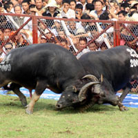 Lễ hội chọi trâu Đồ Sơn