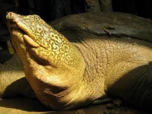 Bà con của rùa Hồ Gươm ở nước ngoài sống thế nào?