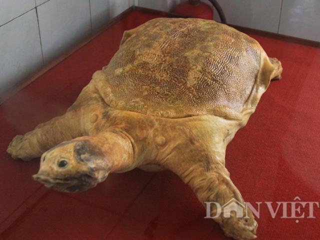 Ngắm tiêu bản rùa vàng khổng lồ ở miền Nam