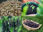 Nhà đẹp - Ít đất vẫn trồng được đậu cô ve tím cực sai quả
