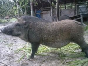 """Ăn tiết canh """"lợn sạch"""" vẫn mắc bệnh liên cầu lợn"""