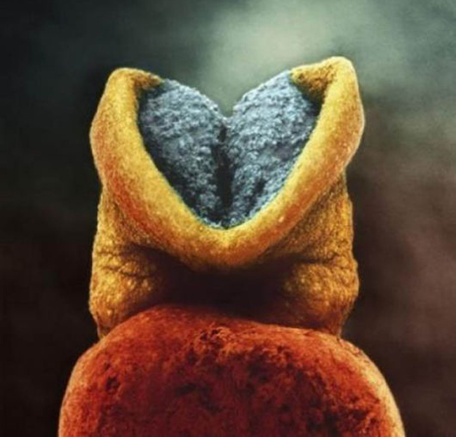 Não bộ của thai nhi bắt đầu phát triển.