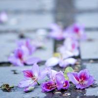Ngắm hoa ban bung nở giữa lòng Hà Nội